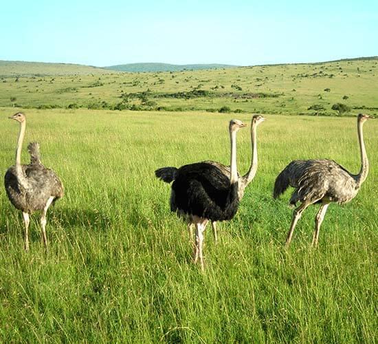 Het Ostrich Netwerk